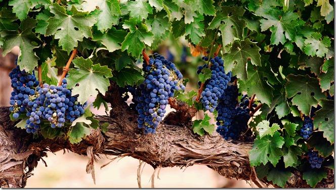 parreira-vitis-vinifera-eno-estilo